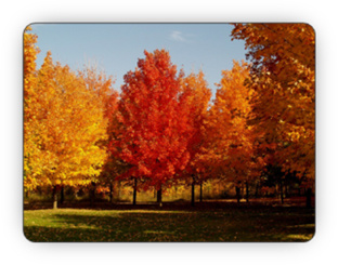 Beautiful stand of leafy deciduous trees in the Fall - Fallowfield Tree Farm - 613-720-3451