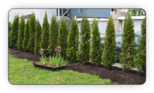 Newly planted hedge, using 'hedge cedars from Fallowfield Tree Farm p 613-720-3451
